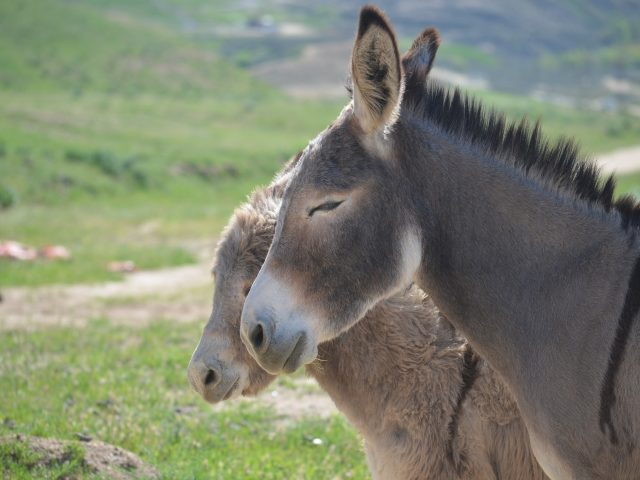 ISPMB – Why Burros Are Causing Problems in Texas